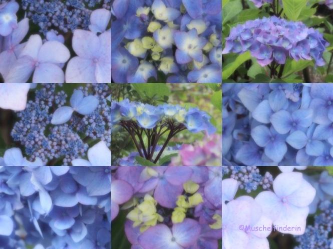 Hortensien blau Kopie
