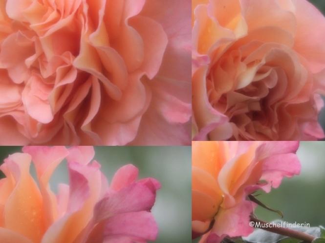Rose lachs Kopie